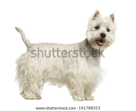 Side view of a West Highland White Terrier panting, 18 months old, isolated on white - stock photo