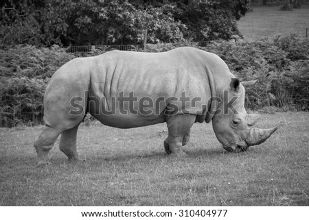 Side view of a white rhinoceros eating grass. - stock photo