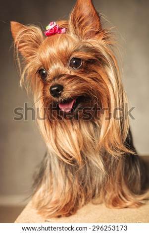 side view of an adorable happy yorkshire terrier puppy dog panting with mouth open on grey studio background - stock photo
