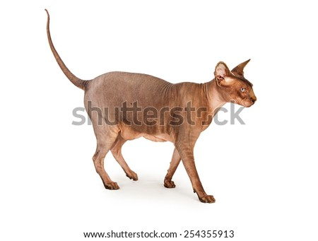 Side view of an adult hairless Sphynx breed cat walking - stock photo