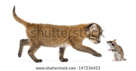 Side view of an Asian golden cat walking towards a garden dormouse, isolated on white - stock photo