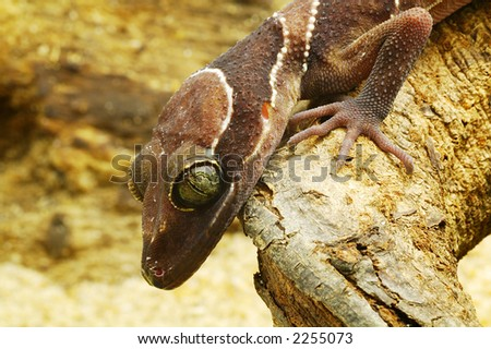 Side view of an brown lizard's head - stock photo
