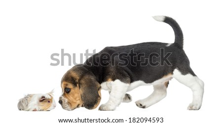 Side view of Beagle puppy and guinea pig getting to know each other, isolated on white - stock photo