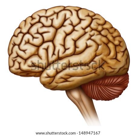 side view of brain - stock photo