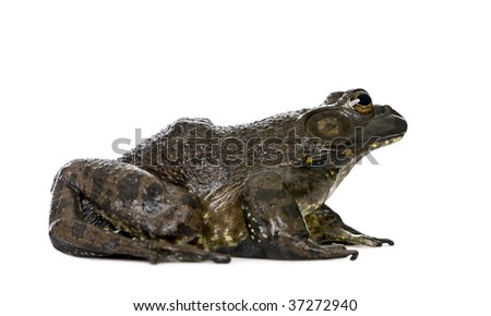 Side view of Bullfrog, Rana catesbeiana, against white background, studio shot - stock photo