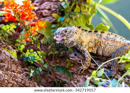 Side view of chuckwalla (Sauromalus) eating flower on branch - stock photo
