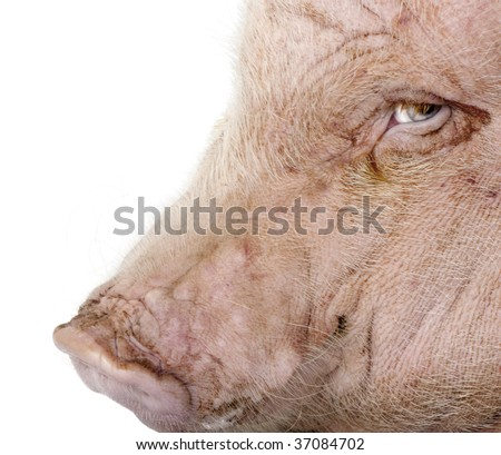 Side view of Gottingen minipig against white background, studio shot - stock photo