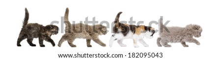 Side view of Highland fold kittens walking in line, isolated on white - stock photo