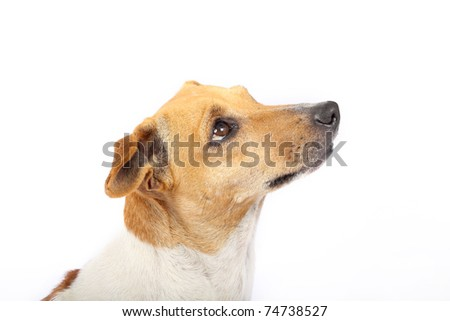 Side view of Jack Russell Terrier - stock photo