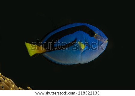 Side view of juvenile blue tang surgeon fish without marine ich disease in fish only saltwater tang - stock photo