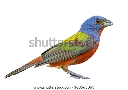 Side View of Male Painted Bunting - stock photo