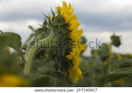 Side view of one beautiful round bright fresh blossoming yellow sunflower with and green leaves in cultivated field on natural countryside and cloudy sky background, horizontal picture - stock photo