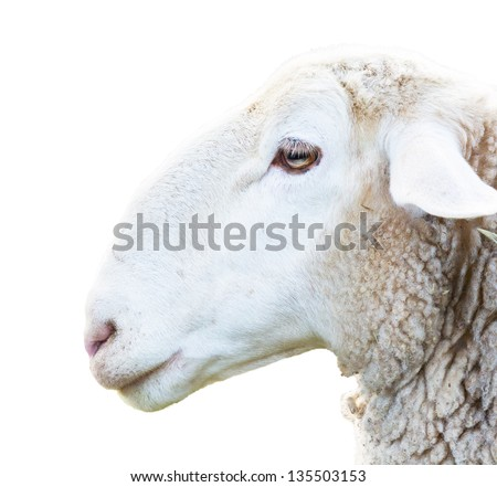 side view of sheep head on white - stock photo