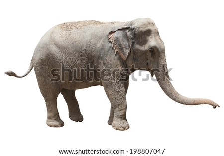 side view of thai asian elephant playing isolated white background use for animals ,pets, and wilderness theme - stock photo