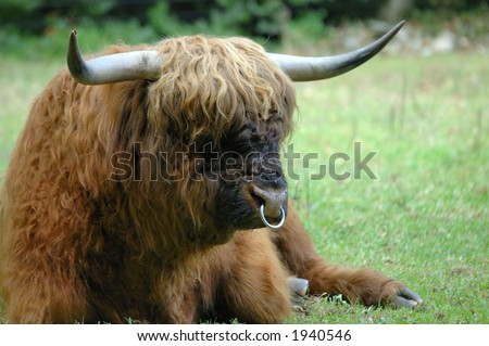 Side view of the head of a bull (ox) of the Scottish  Highland cattle breed. Flies on his nose. Known as the 'Hairy coo' in Scotland. Space for text to right of image. - stock photo
