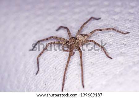 side view of the huntsman spider on the bed - stock photo