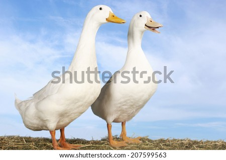 Side view of two geese standing against blue sky - stock photo