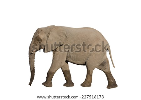 Side view of whole elephant on white background with clipping path - stock photo