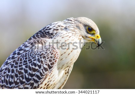 Side view  portrait of a white falcon - stock photo