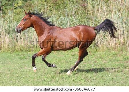 Side view shot of a galloping young arabian  stallion on pasture - stock photo