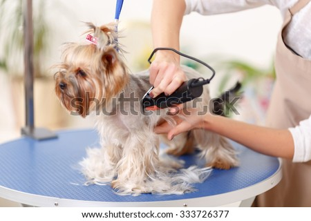 Sides grooming. Yorkshire stands on the table while being trimmed by professionals - stock photo