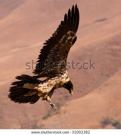 sideview of bearded vulture landing - stock photo