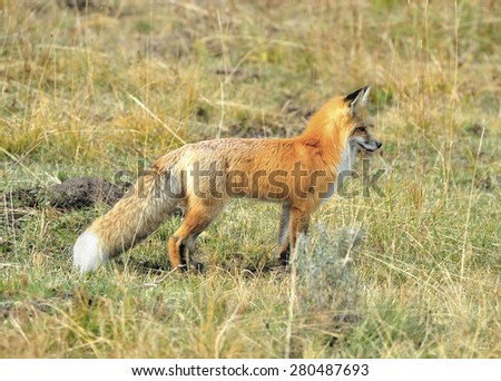 sierra nevada red fox or Vulpes vulpes necator one of americas most endangered mammals, yellowstone national park, montana, united states.  - stock photo