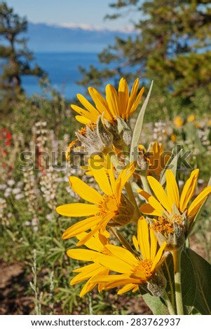 Sierra Nevada wildflowers with out of focus  Lake Tahoe in the background - stock photo