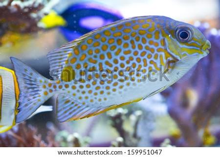 Siganus guttatus - colorful sea fish - stock photo