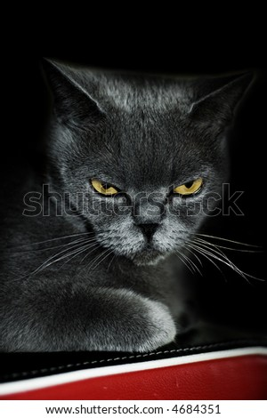 Sight of a grey cat. Black background. - stock photo