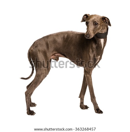 Sighthound isolated on white background - stock photo