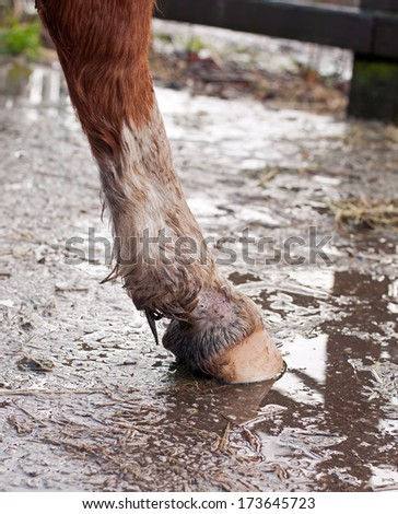 Signs of Mud fever / Rain scald: Hair loss, skin irritations & sores.  - stock photo