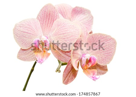 Siingle branch of gentle exotic flowers isolated on white - stock photo