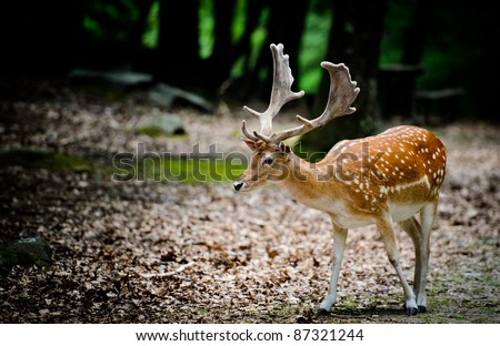 Sika deer - stock photo