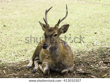 Sika deer are sitting - stock photo
