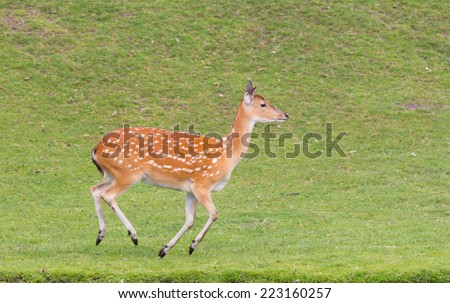 Sika deer (Cervus Nippon) running in a field - stock photo