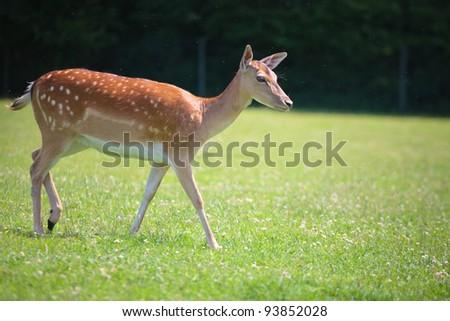 Sika deer on meadow - stock photo