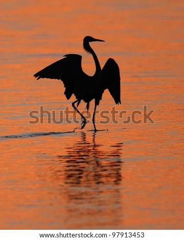 Silhoeutte of Reddish Egret (Egretta rufescens) Dancing at Sunset- Sanibel Island, Florida - stock photo