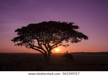 Silhouette big tree with the mahout and elephant in the sunrise. relationship between mahout and elephant in the elephant village from Surin province , north east of Thailand.  - stock photo