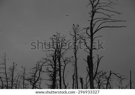 Silhouette of a cormorants in dead trees. Spooky scene - stock photo