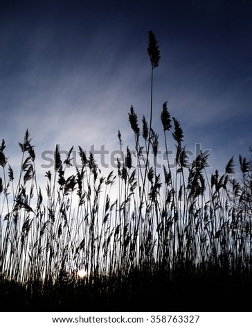 Silhouette of a field of reeds at sunset against a blue and white gradient sky where one reed is taller than the rest. - stock photo