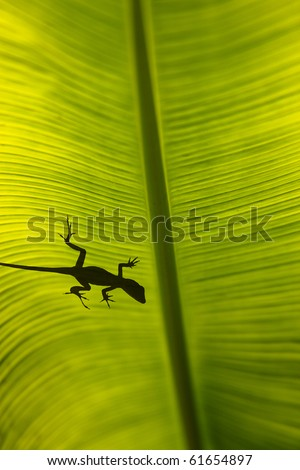 Silhouette of a gecko lizard on a waxy tropical leaf viewed from underneath in the sunshine. The leaf is is selected focus. - stock photo