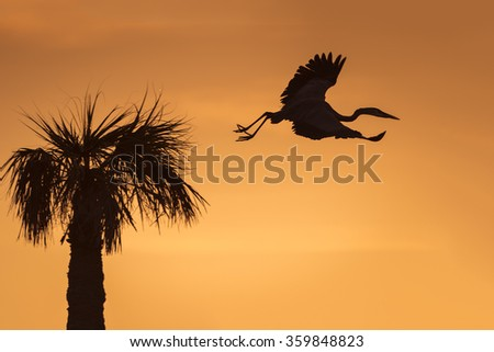 Silhouette of a Great Blue Heron (Ardea herodias) flying from its nest in a palm tree at sunrise - Melbourne, Florida - stock photo