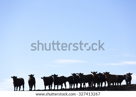 Silhouette of a group of brown cows looking at the camera in a farm land in Uruguay against a blue sky. This is the result of intensive livestock business in South America 2014. - stock photo