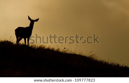 silhouette of a Mule Deer doe standing on a grassy prairie ridge top, in Washington, near the Canada border; Pacific Northwest wildlife / nature / animals - stock photo