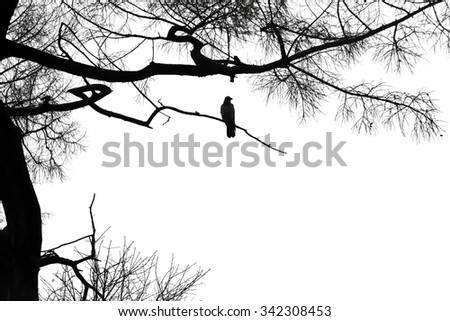 Silhouette of a raven on a coniferous tree on white background. - stock photo