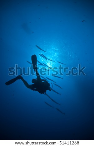 Silhouette of a scuba diver with Blackfin barracuda (Sphyraena qenie) in the background. Shark reef, Red Sea, Egypt. - stock photo