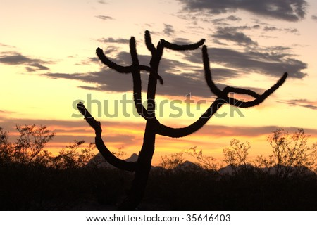 Silhouette of a Staghorn cholla cactus (Opuntia versicolor) seen at sunset - stock photo