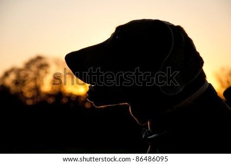 Silhouette of a Weimaraner dog against sunset - stock photo