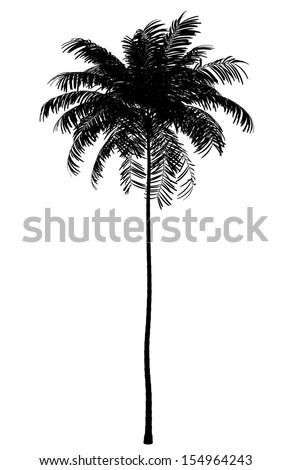 silhouette of areca palm tree isolated on white background - stock photo
